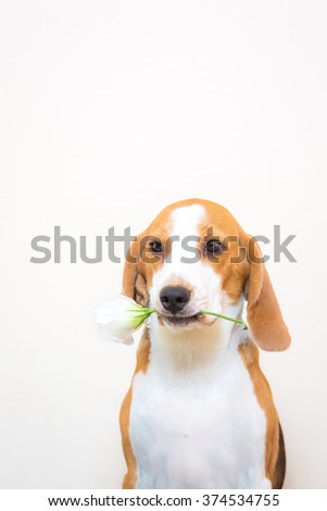 Little beagle dog hold white flower in the mouth at studio portrait - white background