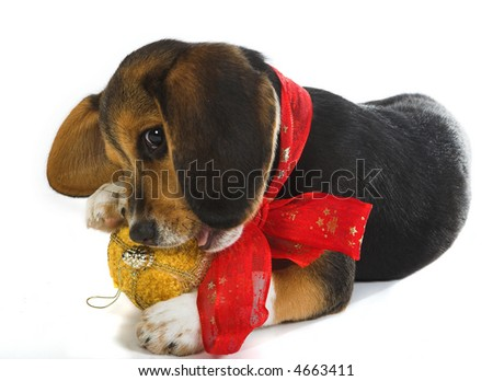 Little beagle puppy dog playing with a christmas decoration and wearing a christmas red ribbon - stock photo