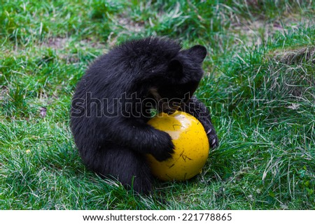 Little bear playing with ball. small wild bear - stock photo