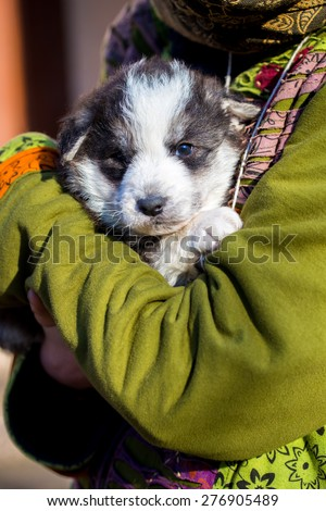 Little beautiful black and white shepherd puppy held on human shoulders . - stock photo