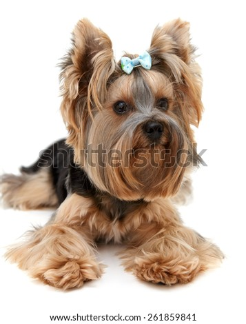 Little beautiful dog breed Yorkshire terrier on a white background. Portrait of a dog york terrier. Dog emotions displayed in the portrait.  Close up. - stock photo
