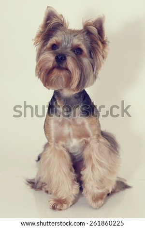 Little beautiful dog breed Yorkshire terrier on a white background. Portrait of a dog york terrier. Dog emotions displayed in the portrait.  Close up. Vintage toning. - stock photo