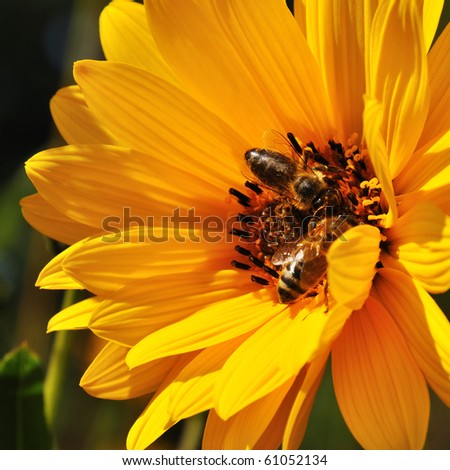 little bee is drinking water on a marguerite - stock photo