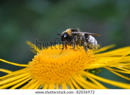 little bee on yellow flower - stock photo