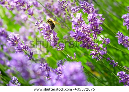 Little bee with the lavender in the garden - stock photo