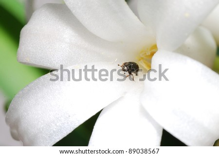 little beetle comes out from a white bloom flower - stock photo