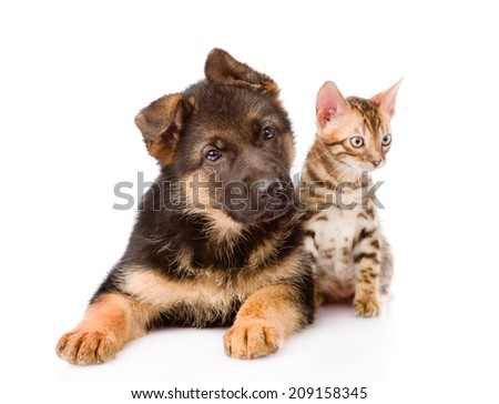little bengal cat and german shepherd puppy dog lying together. isolated on white background - stock photo