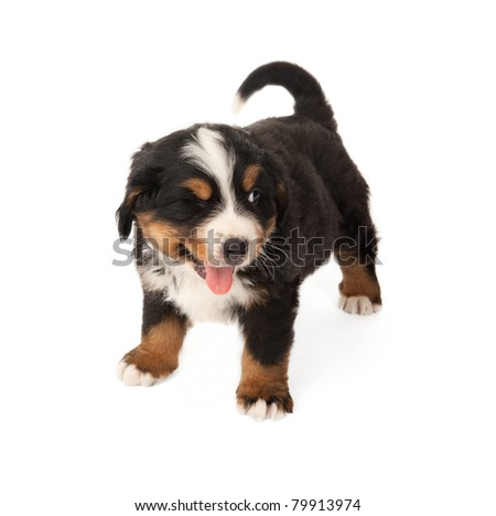 Little Bernese mountain dog winking with his eye - stock photo