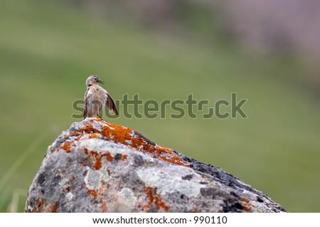 Little bird cleaning itself - stock photo