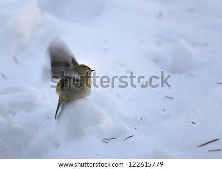 little bird in the snow, wren bird - stock photo