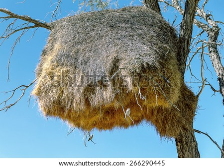 Little birds build huge nests in trees - Namibia, South-West Africa - stock photo