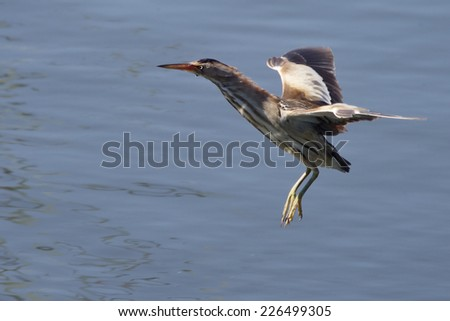 Little Bittern, adult female, flying over a pond, Ria Formosa, Algarve, Portugal. - stock photo