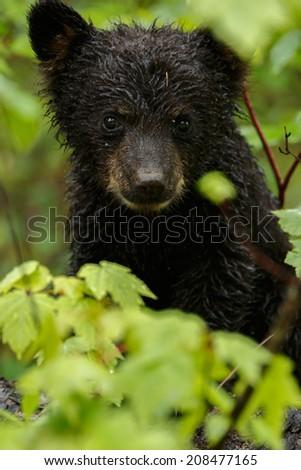 Little black bear cub sits between green leafs - stock photo