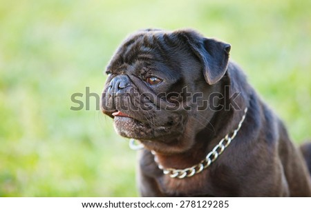 Little black dog in the park with a metallic collar - stock photo
