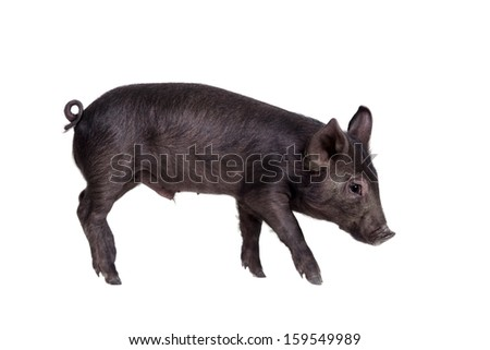 Little black pig isolated on the white background - stock photo
