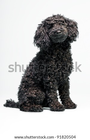 Little black poodle dog isolated on grey background - stock photo