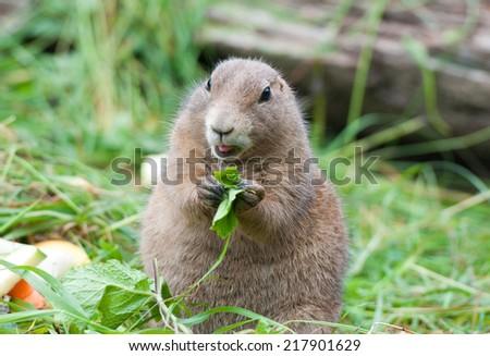 little black tailed prairie dog eating salad - stock photo