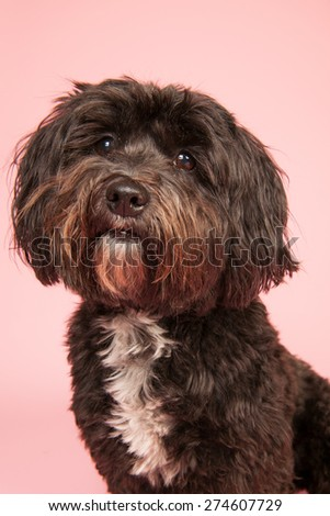 Little black Tibetan Terrier on pink background - stock photo