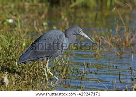 Little blue heron - [Egretta caerulea] - stock photo