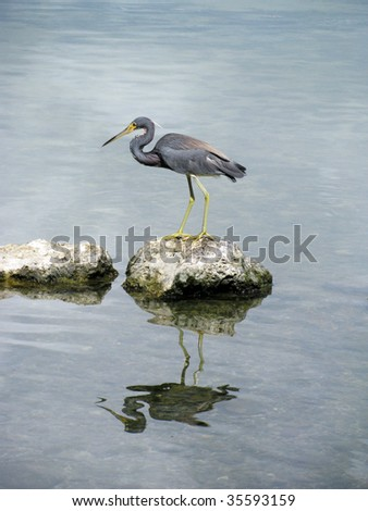 Little Blue Heron, Florida Keys