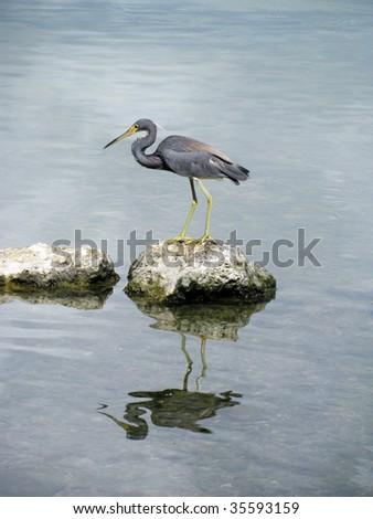 Little Blue Heron, Florida Keys - stock photo