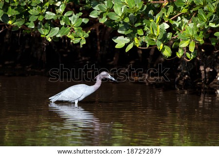 Little Blue Heron hunts for fish in a mangrove forest of coastal Florida - stock photo