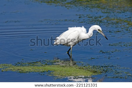 Little Blue Heron is unique in having all-white plumage through the lst year and all-dark thereafter.  It is solitary and catches fish in shallow water. - stock photo