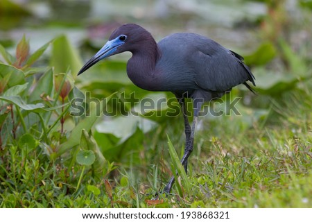 Little Blue Heron wading in the everglades - stock photo