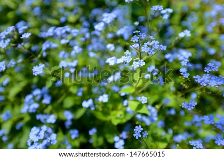 Little blue Jack Frost flowers, also known as False Forget-me-not - stock photo