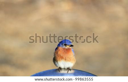 Little Bluebird on a summers day - stock photo