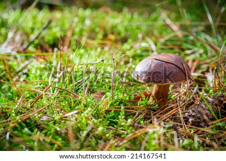 Little boletus on moss in forest - stock photo