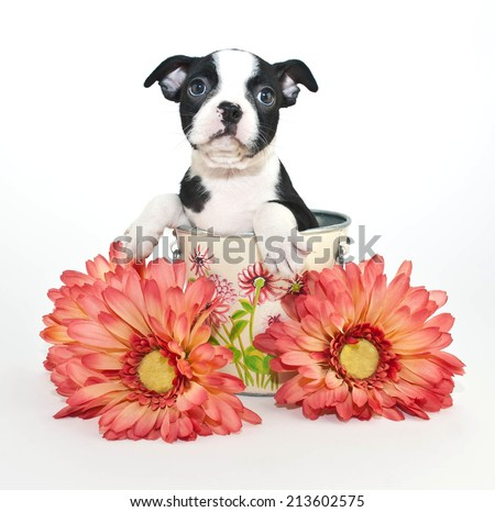 Little Boston Terrier puppy sitting in a bucket with flowers around her, on a white background. - stock photo