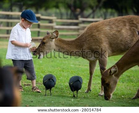 Little boy feeding deers in farm - stock photo