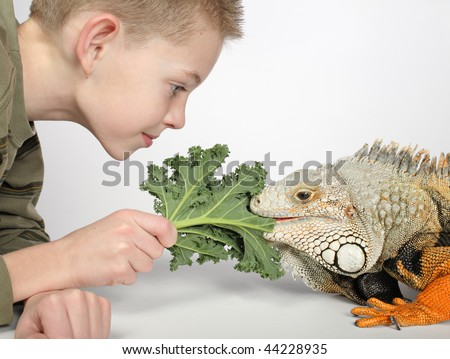 little boy feeding green leaf to large hungry pet lizard - stock photo
