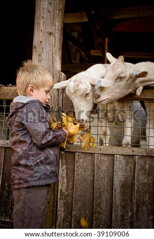 Little boy feeds goats a handful of fallen maple leaves. - stock photo