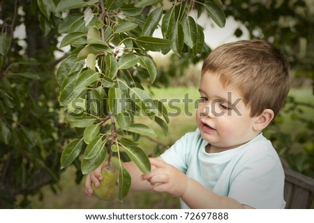 little boy gently picking pear from tree - stock photo