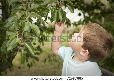 little boy looking up into tree to pick a pear - stock photo