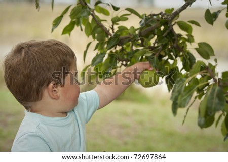 little boy picking pear from tree - stock photo