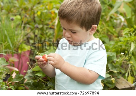 little boy picking strawberry from vegetable garden - stock photo