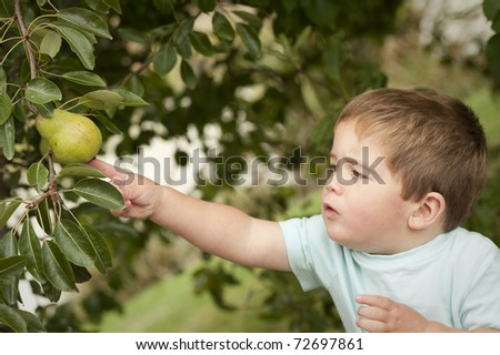 little boy reaching out to touch pear on tree - stock photo