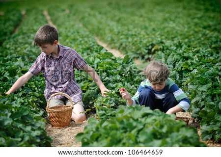 Little boys at the strawberry plantation picking berries - stock photo