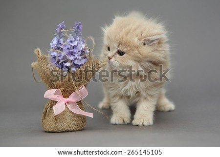 Little British kitten beige color and flower on a gray backgroun - stock photo