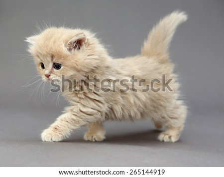 Little British kitten beige color on a gray background - stock photo