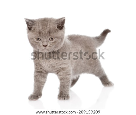 little british shorthair kitten looking at camera. isolated on white background