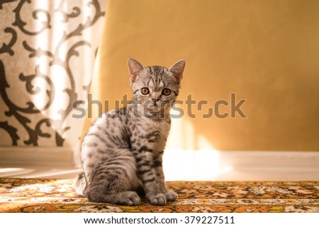 Little british shorthair tabby cat at home - stock photo