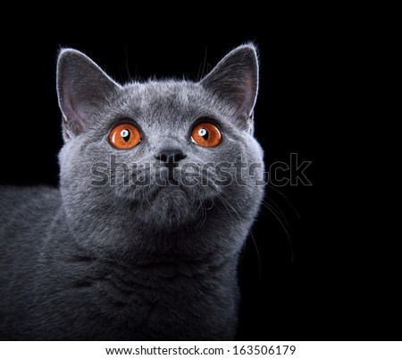 Little Briton cat on a black background - stock photo
