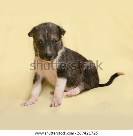 Little brown and white puppy sitting on yellow background - stock photo