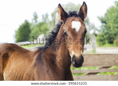 little brown colt with a short black mane and a white blaze on his head standing near the wooden fence