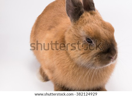 little brown fluffy bunny on white, who wants to cuddle