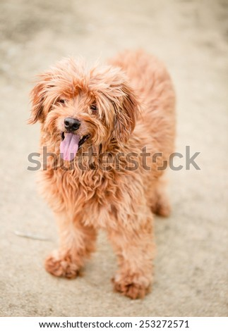 Little brown furry dog